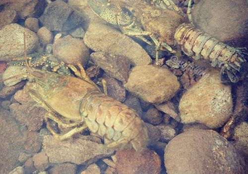 GSO Fishing - Match The Hatch - Crawdads In The Water